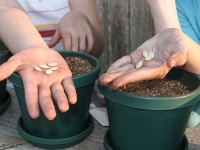 The hands of two girls getting ready to plant squash seeds in pots for a school science project.
